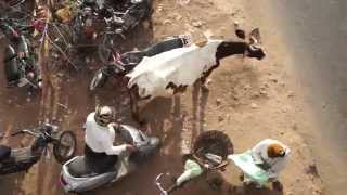 How To Treat A Holy Cow, In India!