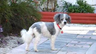 Oliver The Miniature Parti Poodle Rescued From A Hoarder Situation By Florida Poodle Rescue