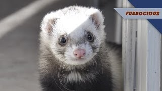 Ferrets are Stinky Thieves