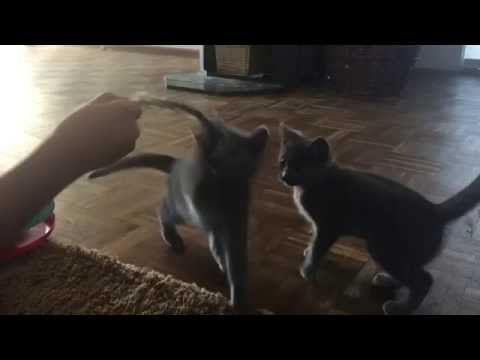 blue house chartreux kittens