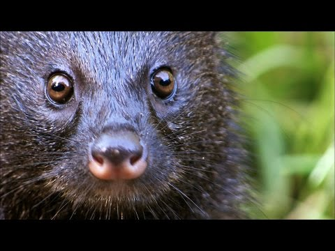 Thumbnail: A Mongoose and Black Mamba Fight to the Death