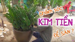 20. Hướng dẫn trồng và chăm sóc Cây Kim tiền để sàn (Phần 1) - Cây cảnh Chợ Hàng