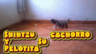 Shihtzu  Cachorro  Juega  Y  Captura  Su  Pelotita / Shihtzu  Puppy  Playing With Ball /shihtzu Dog