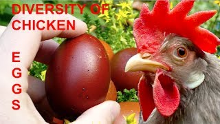 DIVERSITY OF CHICKEN EGGS: a comparison with 20 different breeds from Leghorn to Orpington
