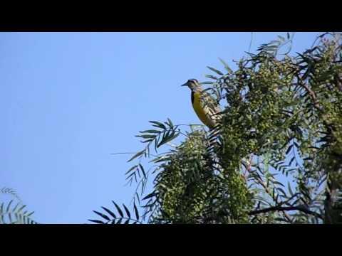 Sturnella magna-Pradero oriental o Tortilla con chile-Eastern Meadowlarck (Canto III)