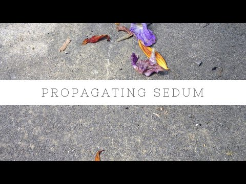 Propagating sedum