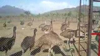 Emu birds at their best in Paramount Farms.