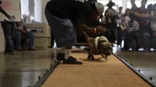 Pitbull Weight Pulling: Presented By Bully Max Dog Supplements
