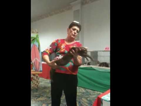 Oriental kitten at cat show