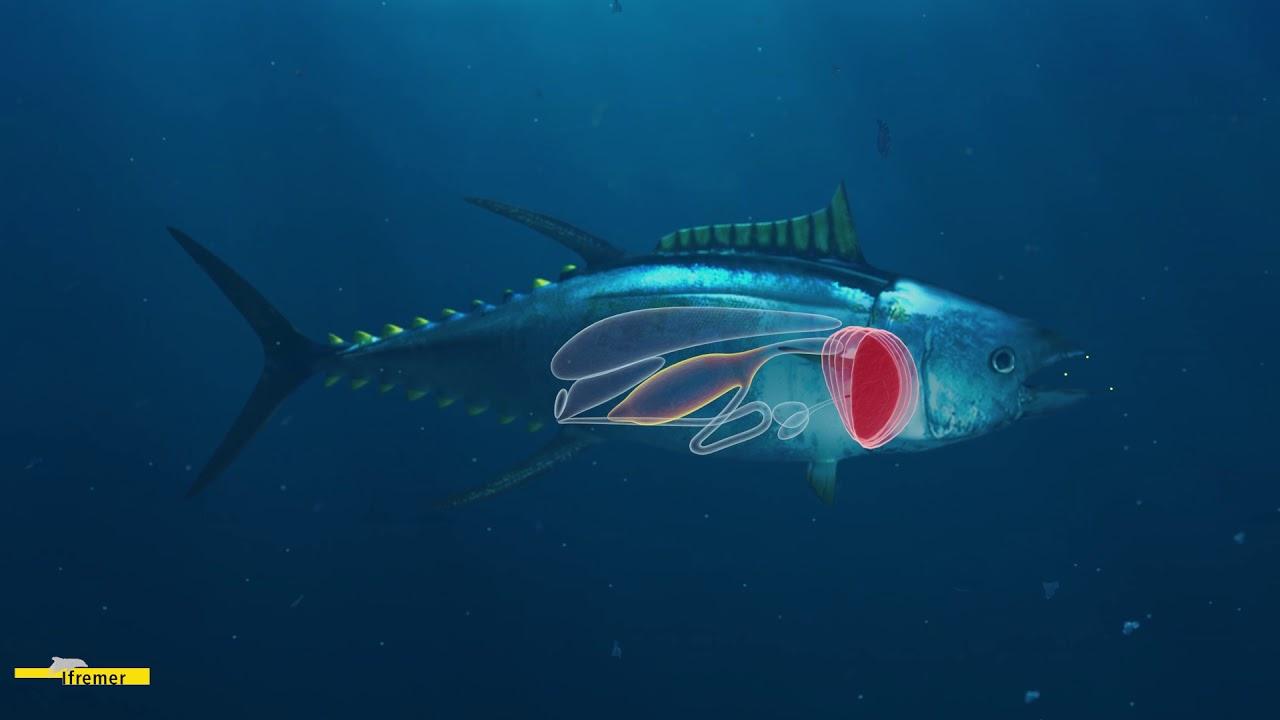L'ingestion des microplastiques par les animaux marins