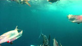 Tuna & a white marlin attacking the dredge on the PUMPIN HARD thumbnail