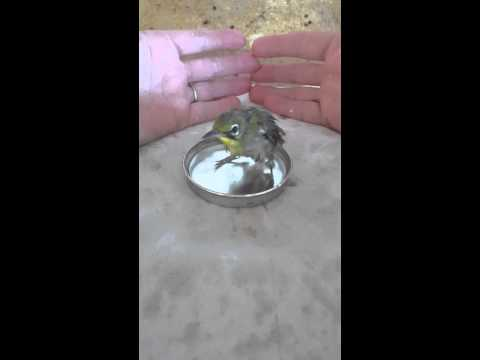 Japanese White Eye bird taking a bath