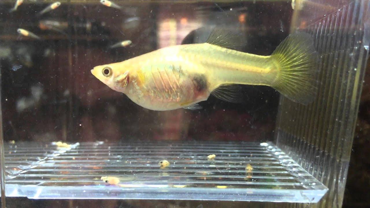 Parto guppy in sala parto avannotti youtube for Sala parto pesci