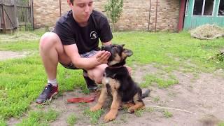Воспитание щенка. Подготовка собаки к дрессировке.