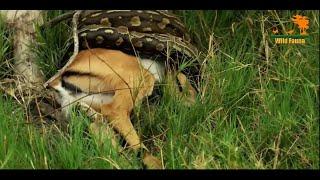Хищники Африки / Rock Python / Охотники
