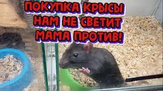 Наши домашние животные.  Хотим декоративную крысу. Мама против!