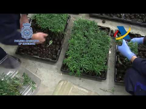 Un pontevedrés, parte de la mayor red asiática de producción de marihuana