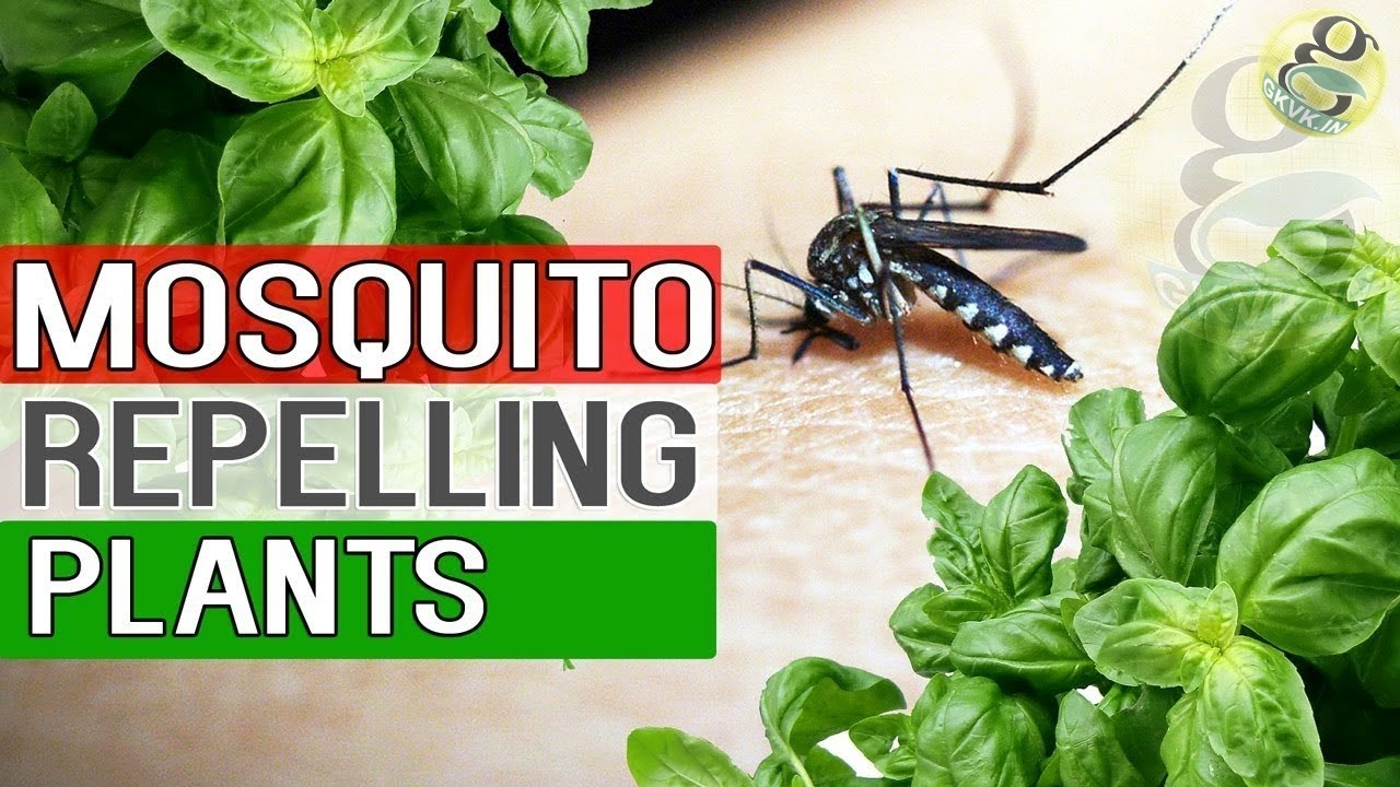 Mosquito Repellent Plants Natural Remedy For Mosquitoes Plants