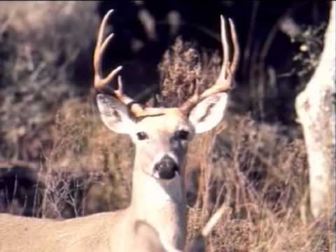 Hunting Regulations: Antler Restrictions - Texas Parks And Wildlife [Official]