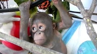 Budi, bayi orangutan yang diselamatkan dari kandang ayam