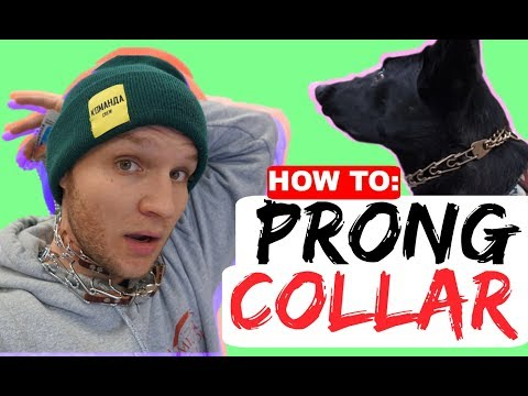 How to properly fit a prong collar - Sizing and position of the prong collar - Dog Training Collars