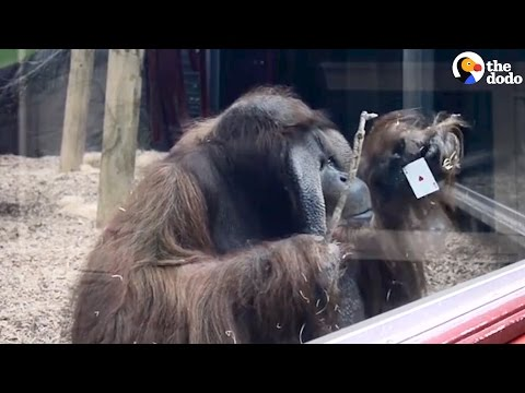 Orangutan Visited by Magician, Proves How Smart He Is | The Dodo