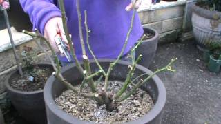 the guru winter prunes a potted rose plant