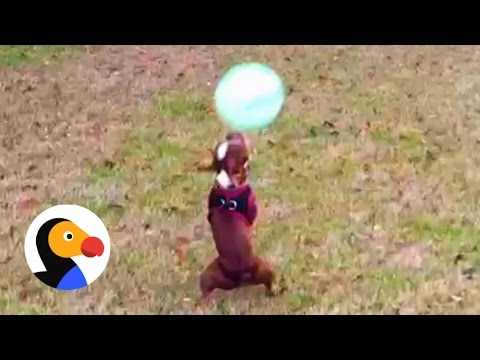 Dog Juggles Ball 19 TIMES | The Dodo