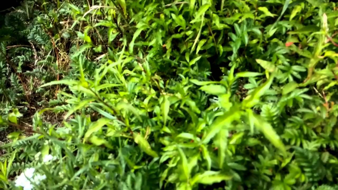 В официальной медицине применяют несколько лекарственных форм перца водяного. Это экстракт водяного перца жидкий, настой травы водяного.