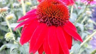 Best Perennials, Echinacea Salsa Red (Coneflower)