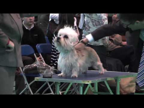 Dandie Dinmont Terriers at Crufts 2010 - Limit Bitch