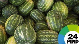 Самые сладкие и полезные: в Таджикистане поспели богарные арбузы - МИР 24