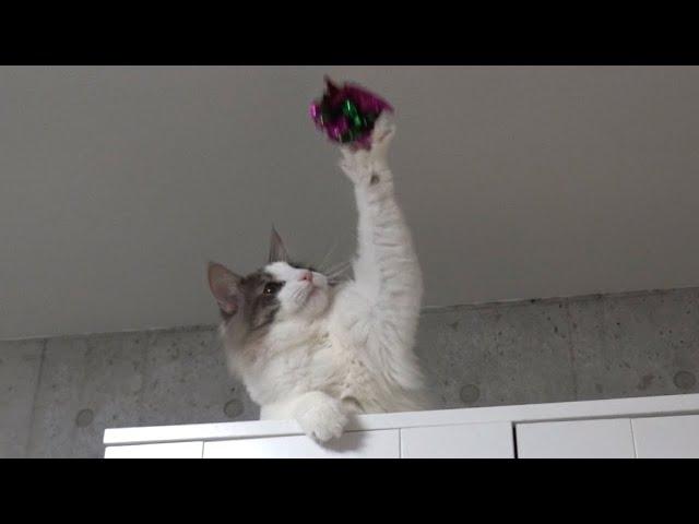 エースアタッカー猫