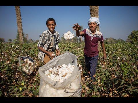 هل يعيد القطن قصير التيلة مصر إلى عرش صناعة النسيج؟  - نشر قبل 3 ساعة
