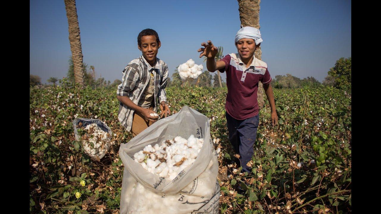 BBC عربية:هل يعيد القطن قصير التيلة مصر إلى عرش صناعة النسيج؟