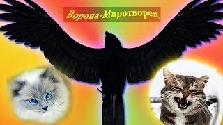 Ворона-миротворец пытается предотвратить драку