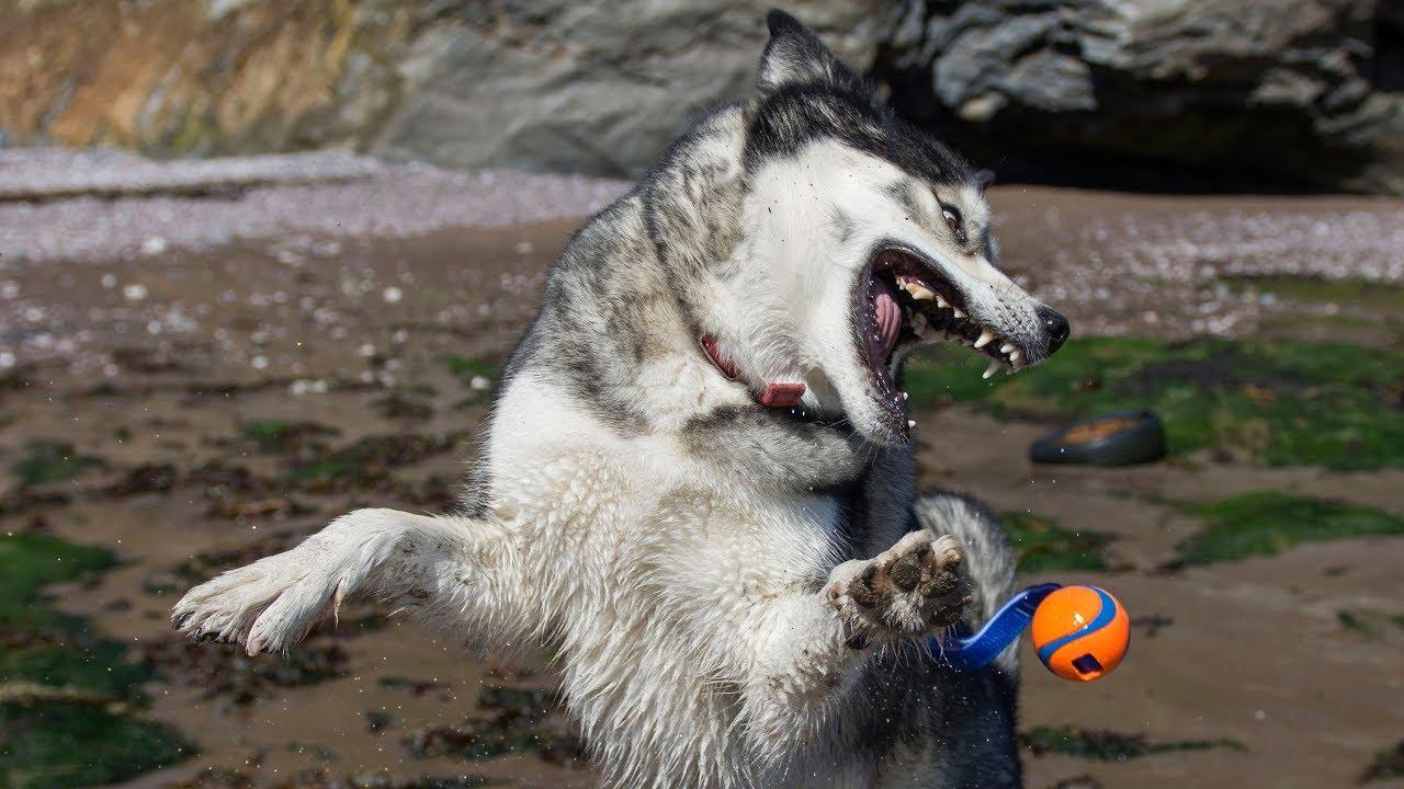 Husky's Beach Hike And New Ball