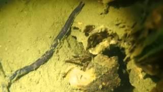 Grevelingen - Lineus longissimus - Snoerworm   2013 11 26