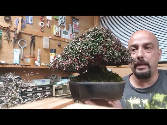 Bonsai shohin Chirimen (trachelosperum asiaticum)