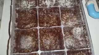 Solenopsis geminata new nest