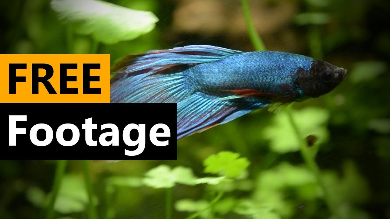 Siamese fighting fish - Betta fish Footage 4 Free [Download Full HD]