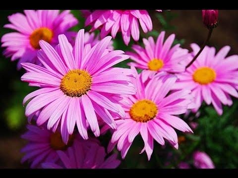 фото пиретрум розовый