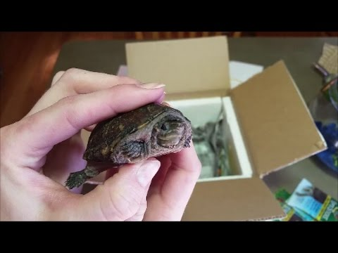 Turtle Unboxing 2- Musk Turtle Facts!