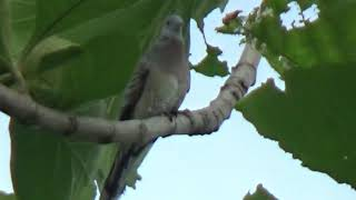 the big sound of wild local turtledove long chirping in the wild