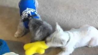 Westie Plays Tug With Shih Tzu