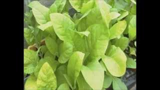 Growing Tobacco at Home video part 3 : plants in the ground June