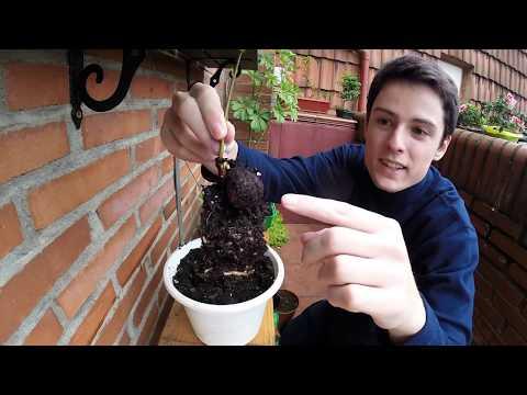 castaños fase 2 plantado en maceta