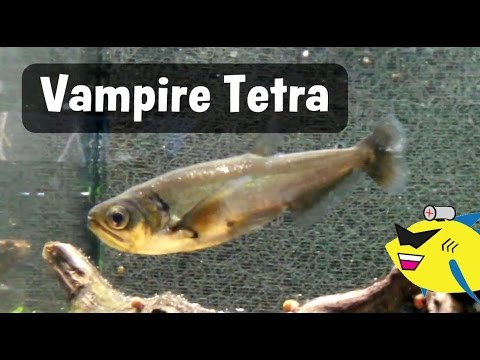 Monster Fish: Vampire Tetra Eating