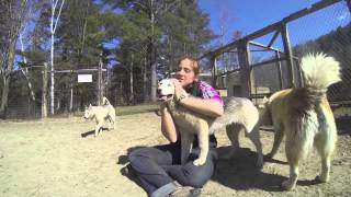 How To Exercise Siberian Huskies Video