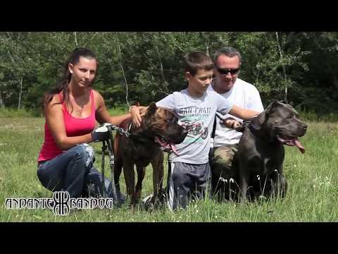Repeat Andante Bandog Family & Andante Bandog Kennels